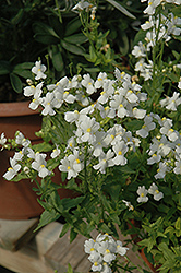 Compact Innocence Nemesia (Nemesia 'Compact Innocence') at Bayport Flower Houses