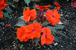 Infinity® Orange New Guinea Impatiens (Impatiens hawkeri 'Infinity Orange') at Bayport Flower Houses