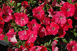 Supertunia® Watermelon Charm Petunia (Petunia 'Supertunia Watermelon Charm') at Bayport Flower Houses