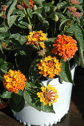 Bandito Orange Sunrise Lantana (Lantana camara 'Bandito Orange Sunrise') at Bayport Flower Houses