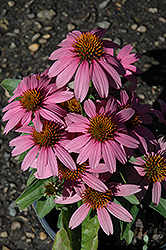 Mistral Coneflower (Echinacea purpurea 'Mistral') at Bayport Flower Houses