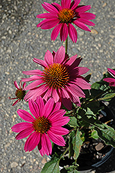 PowWow Wild Berry Coneflower (Echinacea purpurea 'PowWow Wild Berry') at Bayport Flower Houses