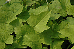 Sweet Georgia® Light Green Sweet Potato Vine (Ipomoea batatas 'Sweet Georgia Light Green') at Bayport Flower Houses