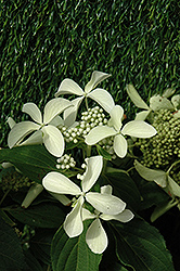Great Star™ Hydrangea (Hydrangea paniculata 'Le Vasterival') at Bayport Flower Houses