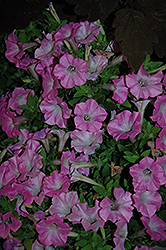 Supertunia® Pink Charm Petunia (Petunia 'Supertunia Pink Charm') at Bayport Flower Houses