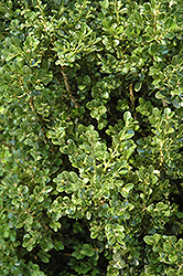 Cranberry Creek Boxwood (Buxus 'Cranberry Creek') at Bayport Flower Houses