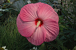 Party Favor Hibiscus (Hibiscus 'Party Favor') at Bayport Flower Houses