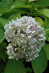 Big Daddy Hydrangea (Hydrangea macrophylla 'Big Daddy') at Bayport Flower Houses