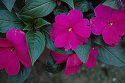 Sonic® Lilac New Guinea Impatiens (Impatiens 'Sonic Lilac') at Bayport Flower Houses