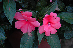 Sonic® Salmon New Guinea Impatiens (Impatiens 'Sonic Salmon') at Bayport Flower Houses