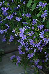 Whirlwind® Blue Fan Flower (Scaevola aemula 'Whirlwind Blue') at Bayport Flower Houses