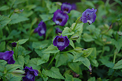 Summer Wave® Large Violet Torenia (Torenia 'Summer Wave Large Violet') at Bayport Flower Houses