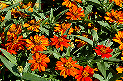 Profusion Orange Zinnia (Zinnia 'Profusion Orange') at Bayport Flower Houses