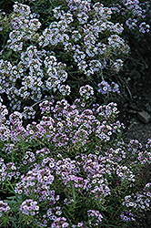 Clear Crystal Lavender Shades Sweet Alyssum (Lobularia maritima 'Clear Crystal Lavender Shades') at Bayport Flower Houses