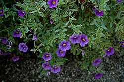 Noa Blue Legend Calibrachoa (Calibrachoa 'Noa Blue Legend') at Bayport Flower Houses