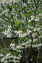 Japanese Snowbell (Styrax japonicus) at Bayport Flower Houses