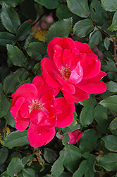 Red Knock Out® Rose (Rosa 'Red Knock Out') at Bayport Flower Houses