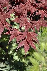 Purple Ghost Japanese Maple (Acer palmatum 'Purple Ghost') at Bayport Flower Houses