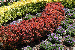 Royal Burgundy Japanese Barberry (Berberis thunbergii 'Gentry') at Bayport Flower Houses