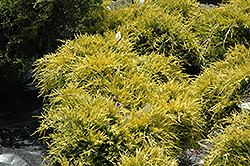 Sea Of Gold Juniper (Juniperus x media 'Sea Of Gold') at Bayport Flower Houses