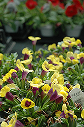 Catalina Gilded Grape Torenia (Torenia 'Catalina Gilded Grape') at Bayport Flower Houses