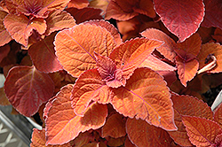 ColorBlaze® Keystone Kopper® Coleus (Solenostemon scutellarioides 'Keystone Kopper') at Bayport Flower Houses
