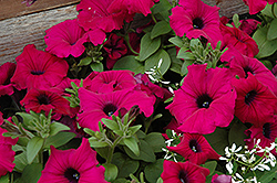 Supertunia® Royal Magenta™ Petunia (Petunia 'Supertunia Royal Magenta') at Bayport Flower Houses
