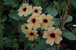 African Sunset Black-Eyed Susan (Thunbergia alata 'African Sunset') at Bayport Flower Houses