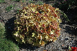 Caramel Coral Bells (Heuchera 'Caramel') at Bayport Flower Houses