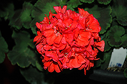 Survivor Coral Geranium (Pelargonium 'Survivor Coral') at Bayport Flower Houses
