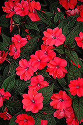 SunPatiens® Compact Deep Rose New Guinea Impatiens (Impatiens 'SunPatiens Compact Deep Rose') at Bayport Flower Houses