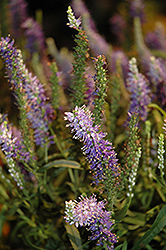 Moody Blues® Light Blue Speedwell (Veronica 'Novaverlig') at Bayport Flower Houses