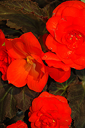 Nonstop® Mocca Deep Orange Begonia (Begonia 'Nonstop Mocca Deep Orange') at Bayport Flower Houses