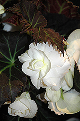 Nonstop® Mocca White Begonia (Begonia 'Nonstop Mocca White') at Bayport Flower Houses