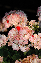 Classic™ Pink Blush Geranium (Pelargonium 'Classic Pink Blush') at Bayport Flower Houses