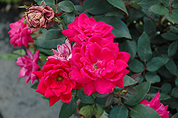 Red Double Knock Out Rose (Rosa 'Red Double Knock Out') at Bayport Flower Houses