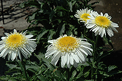 Real Glory Shasta Daisy (Leucanthemum x superbum 'Real Glory') at Bayport Flower Houses