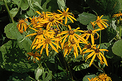 Othello Rayflower (Ligularia dentata 'Othello') at Bayport Flower Houses