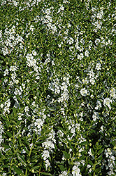 Angelface® White Angelonia (Angelonia angustifolia 'Angelface White') at Bayport Flower Houses