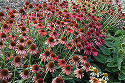Cheyenne Spirit Coneflower (Echinacea 'Cheyenne Spirit') at Bayport Flower Houses