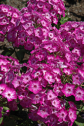 Early Start™ Purple Garden Phlox (Phlox paniculata 'Early Start Purple') at Bayport Flower Houses