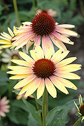 Evening Glow Coneflower (Echinacea 'Evening Glow') at Bayport Flower Houses