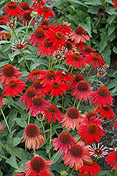 Sombrero® Salsa Red Coneflower (Echinacea 'Balsomsed') at Bayport Flower Houses