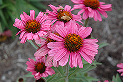 Pink Passion Coneflower (Echinacea 'Pink Passion') at Bayport Flower Houses