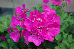 Caliente Lavender Geranium (Pelargonium 'Caliente Lavender') at Bayport Flower Houses