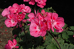 Savannah Pink Geranium (Pelargonium 'Savannah Pink') at Bayport Flower Houses