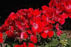 Savannah Ruby Sizzle Geranium (Pelargonium 'Savannah Ruby Sizzle') at Bayport Flower Houses
