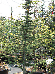 Golden Atlas Cedar (Cedrus atlantica 'Aurea') at Bayport Flower Houses