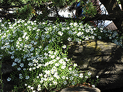 Mountain Sandwort (Arenaria montana) at Bayport Flower Houses