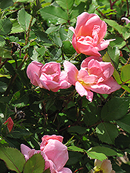 Rainbow Knock Out® Rose (Rosa 'Radcor') at Bayport Flower Houses